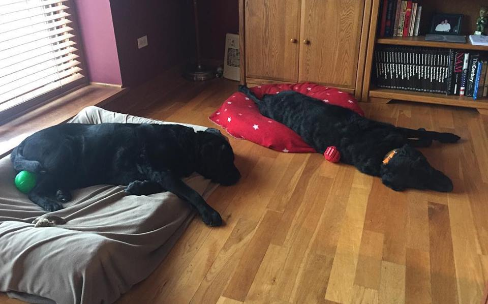 Indy and Junior wiped out, after a walk.